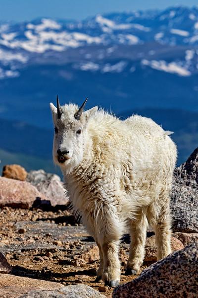 Mt Evans Mountain Goat 4