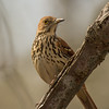 """Brown Thrasher"""