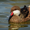 """White-Cheeked Pintail"""