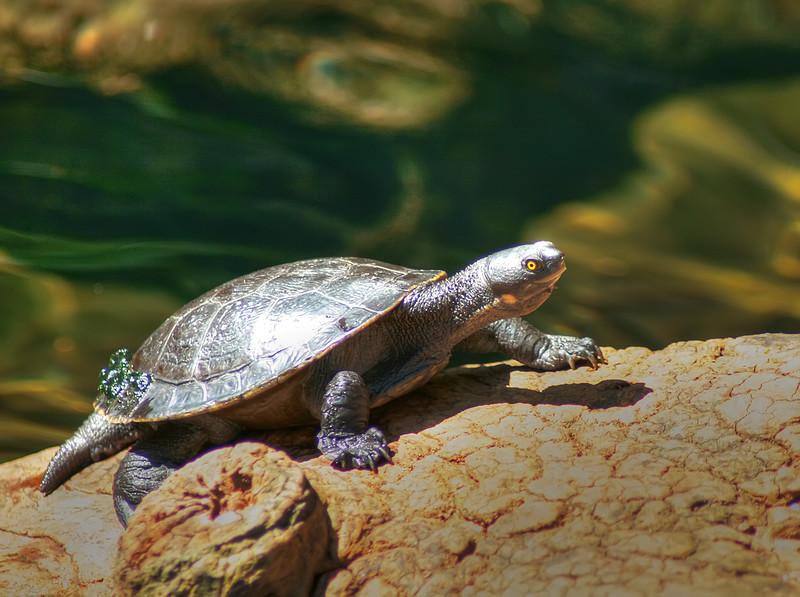 Turtle, Sydney Zoo, Australia
