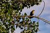 Yellow-headed Blackbird Perch 1