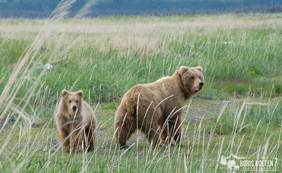A sow and yearling brown bear cub at Hallo Bay, Alaska