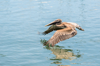Pelican flying while fishing on shallow water