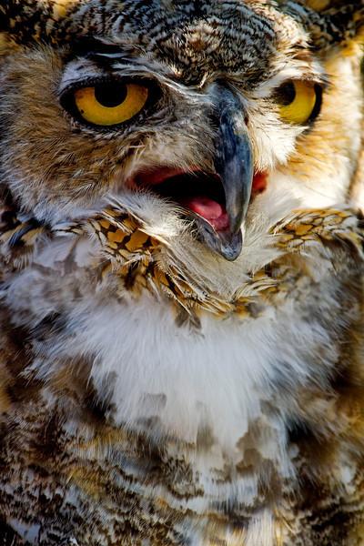 Horned Owl Close-up