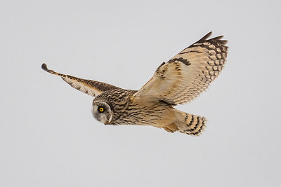 A short-eared owl on the hunt for voles.