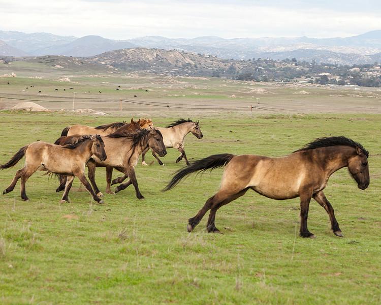 Wild Horses, Ramona, California