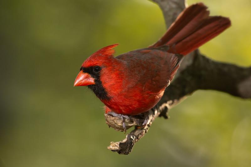 """Male Northern Cardinal"""