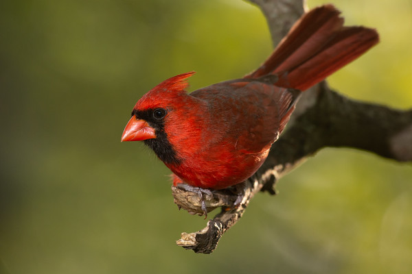 """Male Northern Cardinal"""