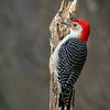 Red-bellied Woodpecker, Montour County, Pennsylvania