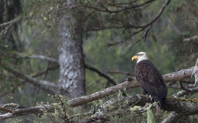 Bald Eagle, China Beach, Vancouver Island, British Columbia