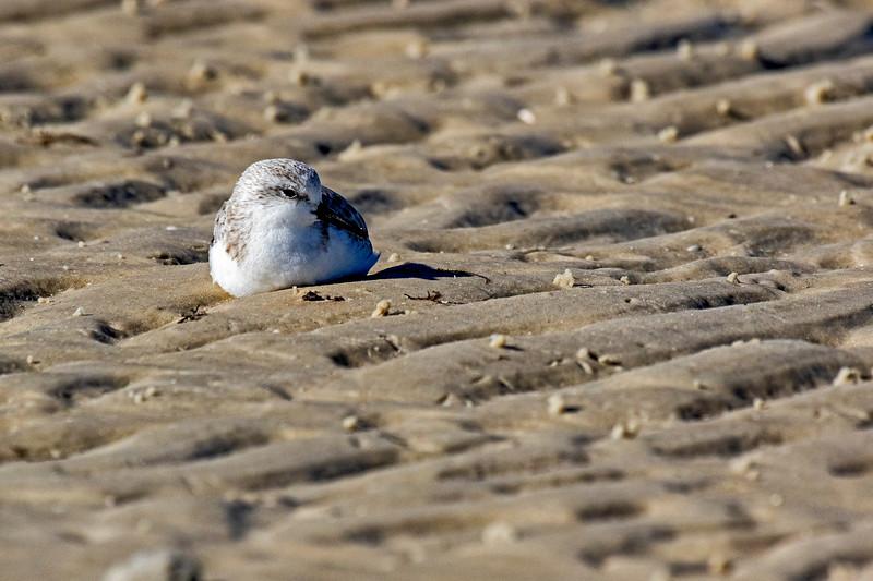 Resting Sanderling