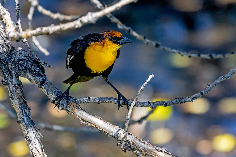 Yellow-headed Blackbird Balance