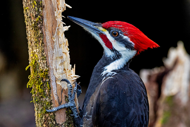 Pileated Woodpecker Close-up 1