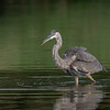 Great Blue Heron in search of food in Northumberland County, Pennsylvania.