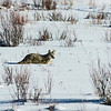 A Yellowstone coyote in the Lamar Valley.