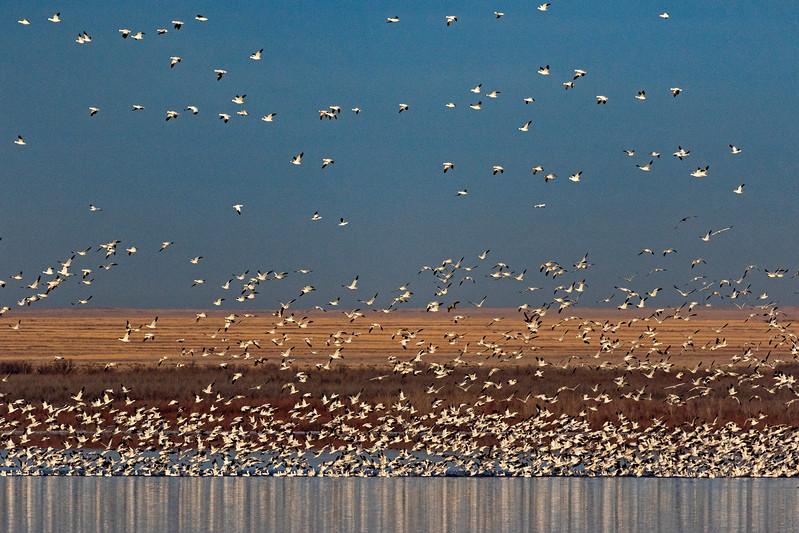 Snow Geese Flock 2