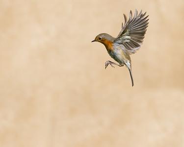 Robin41a