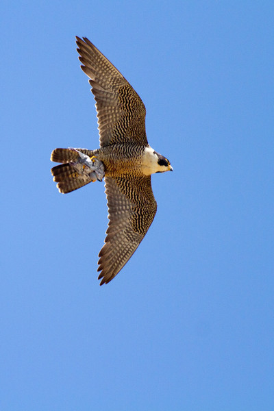 Peregrine Falcon, San Diego