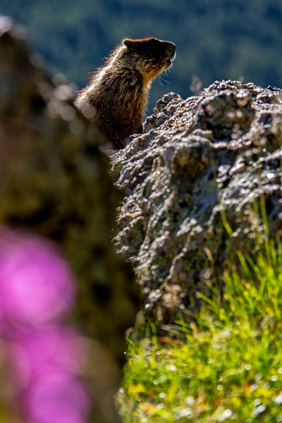 Marmot Perch