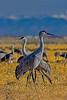 Sandhill Cranes Lookout