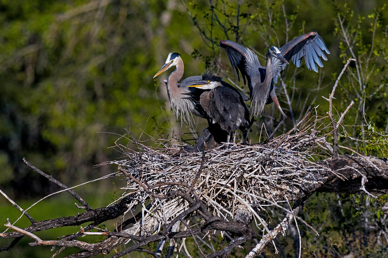 Great Blue Heron Family 2