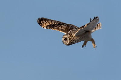 Short-eared Owl Diving