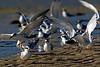 Tern Gathering