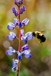 Blue Lupine and Bee