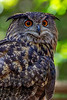 Eurasian Eagle Owl 1