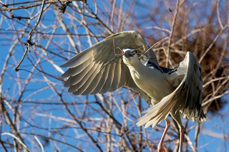 Black-crowned Night-Heron Stick Duty 3