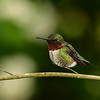 """Male Ruby-Throated Hummingbird"""