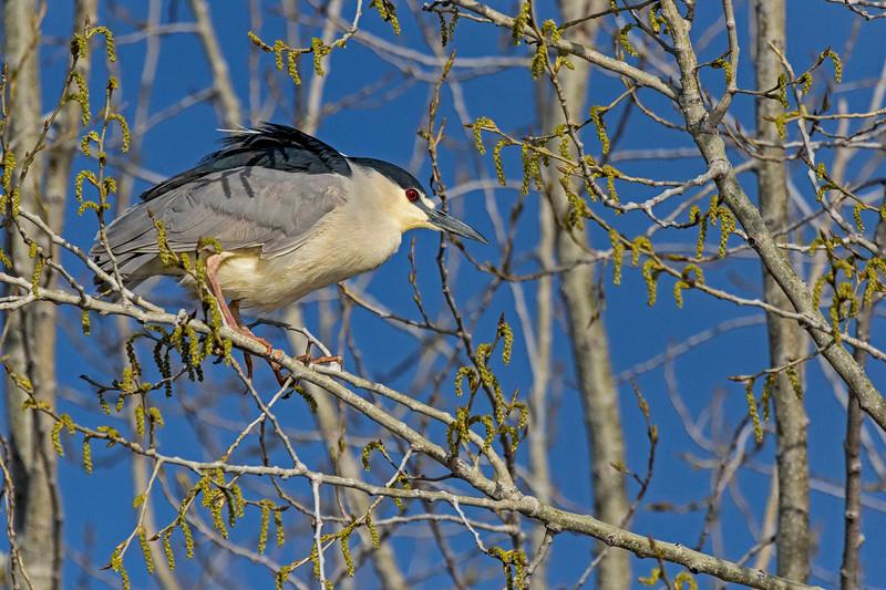 Black-crowned Night-Heron 3