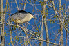 Black-crowned Night-Heron 3