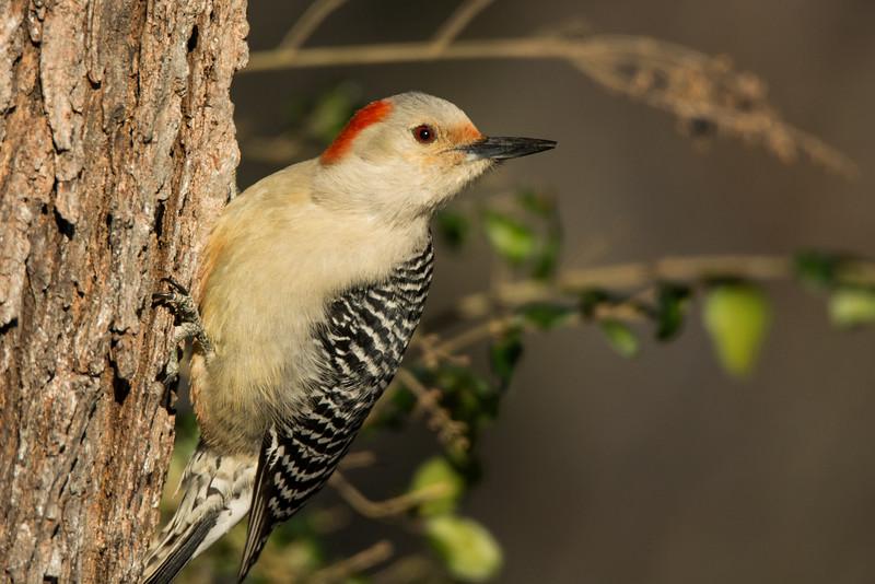 """""""Woodpecker In Winter"""""""