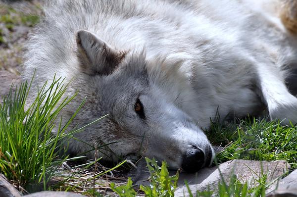 Grey Wolf - Yellowstone Wolf Preserve