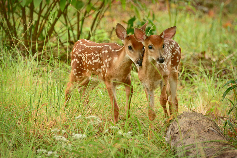 """Two Fawns"""
