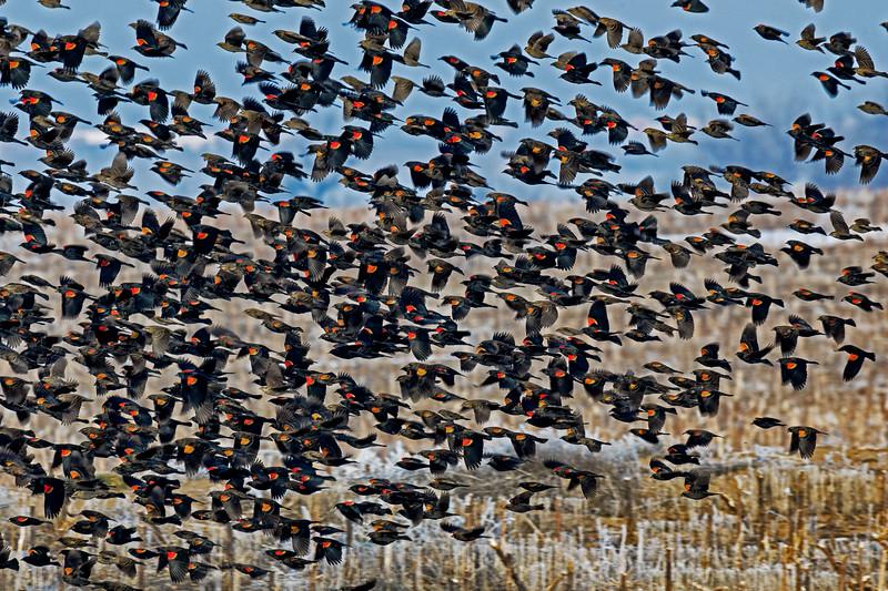 Red Wing Blackbird Flock