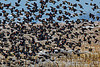 Red Wing Blackbird Flock