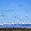 Sandhill Crane Migration in Colorado