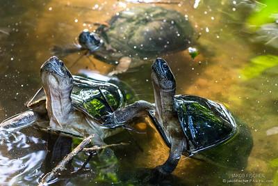 little sea turtles