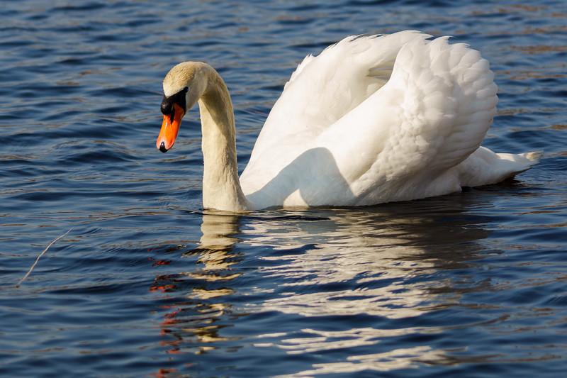 Swan in the morning sun