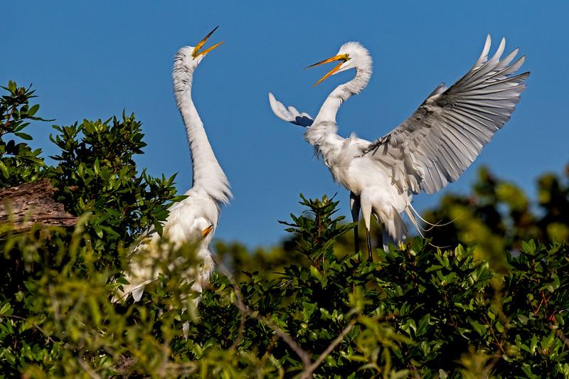Great Egret Courtship 1