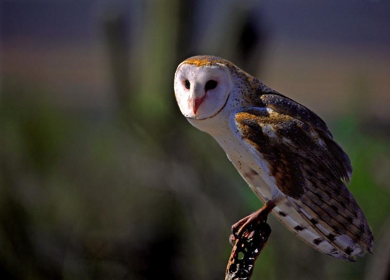 Common Barn Owl 1 (2)