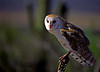 Common Barn Owl 1 (2)