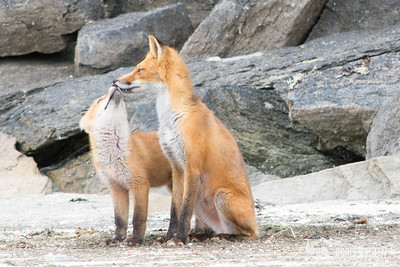 A baby fox and it's mother out near Geographic Harbor, Alaska