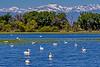 Barr Lake Pelicans