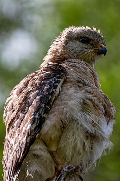 Red Shoulder Hawk Puff
