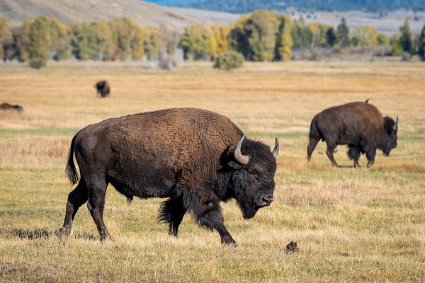 Bull Bison - Grand Teton National Park