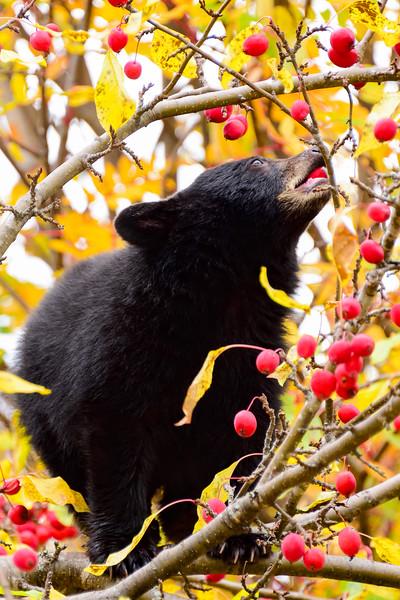 Crabapple bear cub 02