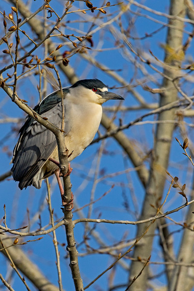 Black-crowned Night-Heron 2